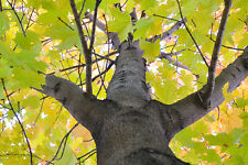 maple, Sugar for maple syrup Tree, 42 Seeds! GroCo#