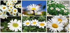 Mammouth * White Daisy Flowers * Over 100 Seeds