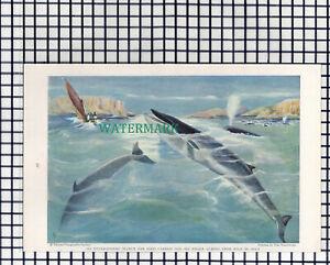 (7890) Sei Whale  / Blue Whale & Calf  - 1940 Book Print