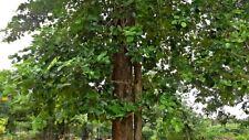 3 Graines  Pterocarpus santalinus, Red Sandalwood, Red sanders tree seeds