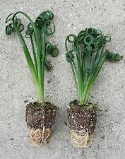 ALBUCA SPIRALIS FRIZZLE SIZZLE PLUGS STARTER PLANTS CACTUS SUCCULENT