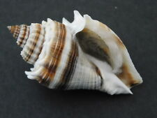 MELONGENA CORONA    Shell  Seashell   60 mm     FLORIDA