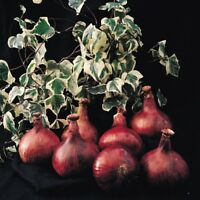 Vegetable - Onion - Mammoth Red - 100 Seeds