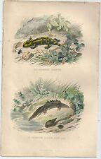 1839 SALAMANDRE TERRESTRE QUEUE PLATE acquaforte gommata salamandra salamander