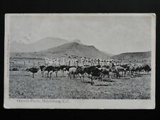 South Africa MIDDLEBURG Ostrich Farm c1903 UB by McKenzie & Brown of Middleburg