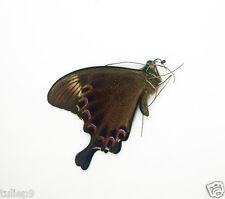 Papilio paris ssp tenggarensis (m) - Mt. Kawi, East Java, Indonesia