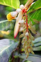 Exot Pflanzen Samen exotische Saatgut Zimmerpflanze Blume DWARF CARDAMOM