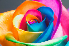 25x Rare Multi-Colors Rainbow Rose Flower Seeds Garden Plant UK Seller