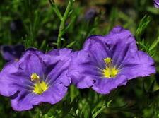 250 PURPLE ROBE CUP FLOWER Nierembergia Hippomanica Caerulea Seeds *Combined S/H