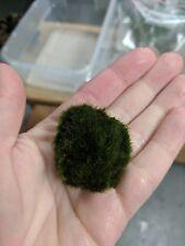 New listing Marimo Moss Ball Aquarium Plant Live