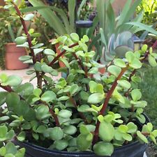 """Twenty Elephant Bush Succulent Red Stem Portulacaria Afra Healthy 4-5"""" Cuttings"""