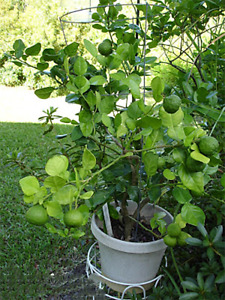18 pc Kaffir Lime Tree Seeds Garden Plant Bonsai Seed Potted Plant