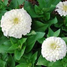 NEW! 35+ PURE WHITE ZINNIA ELEGANS FLOWER SEEDS  ANNUAL