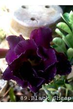 Succulent &cactus,Adenium obesum No89 black sheep,nice plant usa free ship