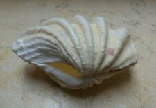 Tridacna Clam Shell Gigas 2Pair Hippopus Natural color red sea  Seashell 121 mm