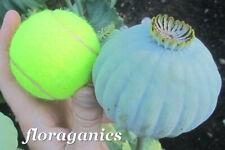 Heirloom Giganteum Poppy seeds (1/4g ~500 seeds) giant mammoth largest papaver