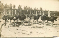 C-1910 San Diego California Ostrich Farm RPPC real photo postcard 6643