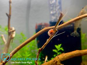 8+2 Red Ramshorn Snails, Aquarium/Pond Algae Cleaners,Live Arrival Guarantee