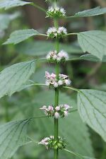 Sibirisches Herzgespann Leonurus sibiricus Marihuanilla entspannende Teepflanze