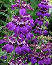 Verbena Ideal Florist Mix 100 seeds  Garden Flower CombSH I44