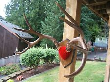 """Nice Mule deer 4x4, 25.4"""" antler mount. Local pickup"""