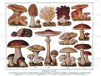 DRAWING EDIBLE FUNGI MUSHROOMS SCIENTIFIC PLANT 30X40CM ART PRINT POSTER BB7830