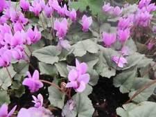 """Cyclamen hederifolium """"silver leaf """"  x 20 fresh seeds"""