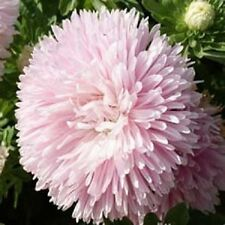 Aster Tall Double Gremlin Light Rose 100 Seeds  Garden Seeds 2u