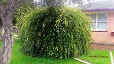 Jasminum mesnii (Primrose jasmine) x 1 plant. Weeping, flowering fragrant shrub