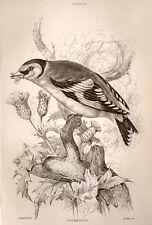 Bechstein's Caged Birds Engraving -1857- GOLDFINCH