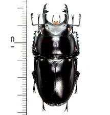 Lucanidae:Neolucanus insulicola insulicola M58.5mm ,A1, unmounted,Japan,beetle