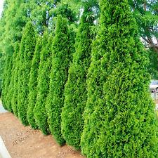 Microbiota Decussata Siberian Seeds Plants Carpet Cypress Arborvitae 100pcs/bag