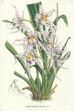 Stampa antica FIORI ODONTOGLOSSUM NAEVIUM Orchidea botanica 1870 Antique print