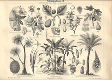 Stampa antica PIANTE ALIMENTARI botanica 2 Baobab Banana 1890 Old antique print