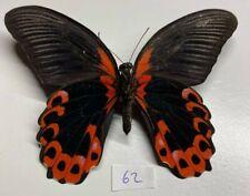 Papilionidae Papilio rumanzovia mâle mounted phillipinnes full data