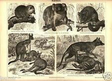 1888= MARSUPIALI = Animali = Antica Stampa = Old ENGRAVING