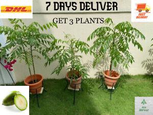 ORGANIC June plum Tropical Fruit Tree Live  3 Plants Ready To Plant 4'-5' tall