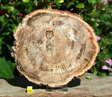 HUGE PETRIFIED / FOSSIL WOOD POLISHED Slice / Slab - FREE STAND - 1018g / 175mm