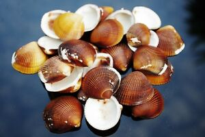 Cockle Brown Sea Shells, Natural Medium Seashells; Weddings, Craft & Decoration