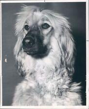 1963 Press Photo Afghan Hound Dog
