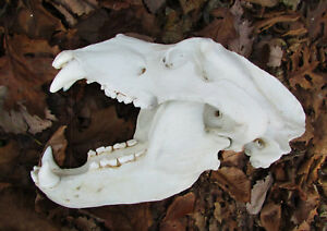 Huge grizzly interior brown bear skull taxidermy plastic cast REPLICA