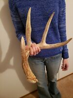 Wild Whitetail Deer Antler Shed Horn Rack Decor Craft 4 Point Typical Heavy