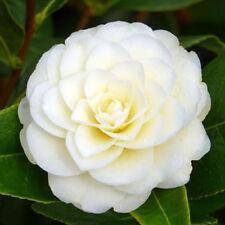 3 X CAMELLIA JAPONICA 'GOLDEN ANNIVERSARY' BUSHY EVERGREEN SHRUB PLANT IN POT