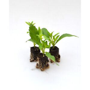 Kräuterpflanzen - Stevia - Süßkraut / Sweety / Stevia rebaudiana - 3 Pflanzen