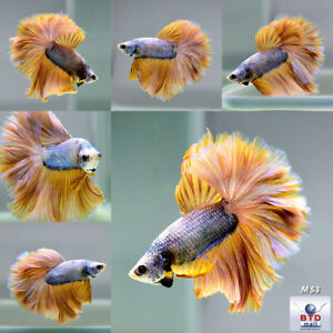 Live Betta M53 Male Copper Mustard Gas Feather Tail HM from Thailand