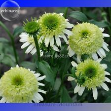 100 pcs Heirloom 'Honeydew Cluster' Green Echinacea, Lovely Coneflower Seeds