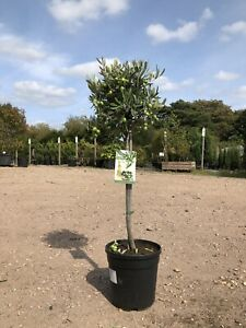 Pair of Olive Tree - Olea europaea approx 80cm (excl. pot)