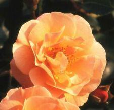 Rosen-Pflanzen, Bäume & Sträucher in Orange