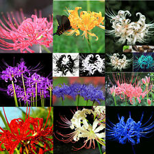 5 PCS Bulbs Lycoris Radiata Spider lily Bulb Seeds Home Garden Flower Seed Decor