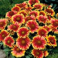 500 Gaillardia Seeds Blanket Flower Seeds